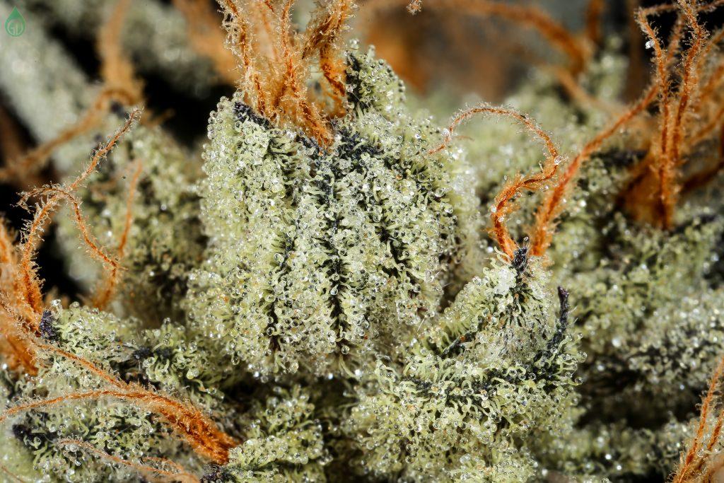 A macro photograph of cannabis